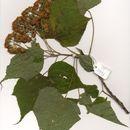 Image of Dombeya