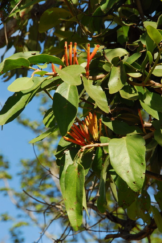 Image of mulberry mistletoe