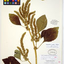 Image of Powell's amaranth