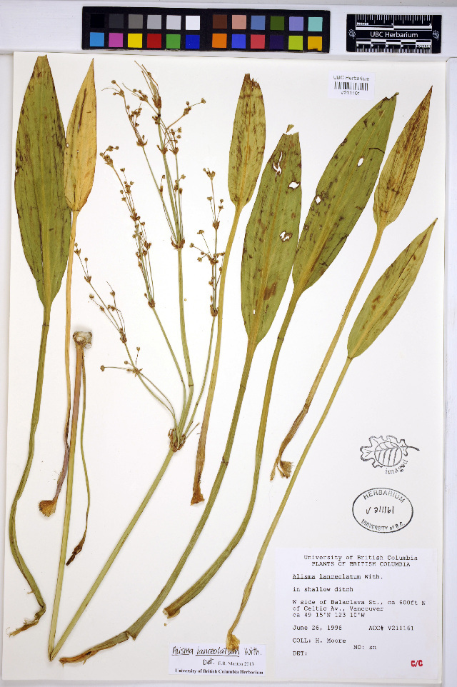 Image of Narrow-leaved Water-plantain