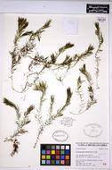 Image of spineless hornwort