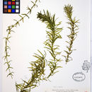 Image of Brazilian waterweed