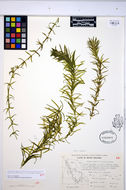 Image of Brazilian waterweed