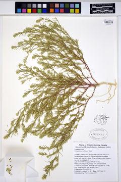 Image of hairy bugseed