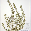 Image of Clammy goosefoot