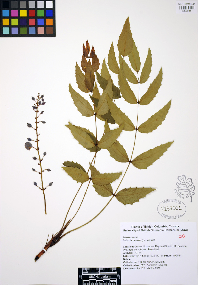 Image of Cascade barberry