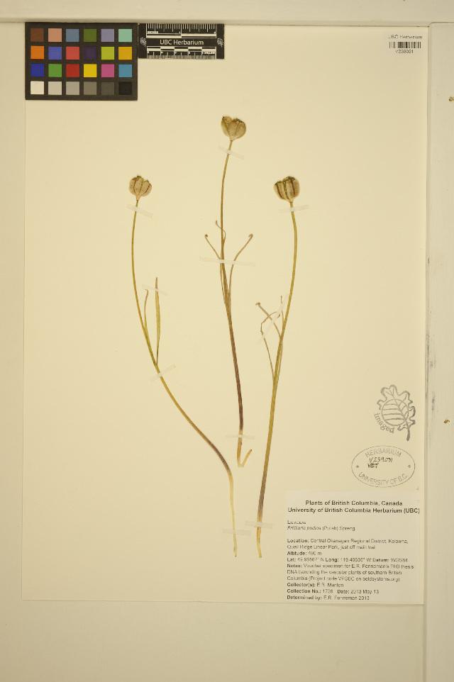 Image of yellow fritillary