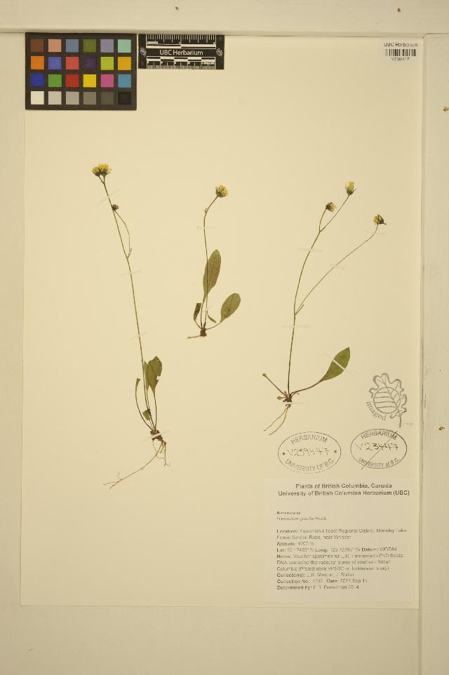 Image of slender hawkweed