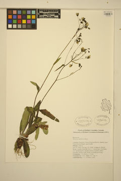 Image of white hawkweed