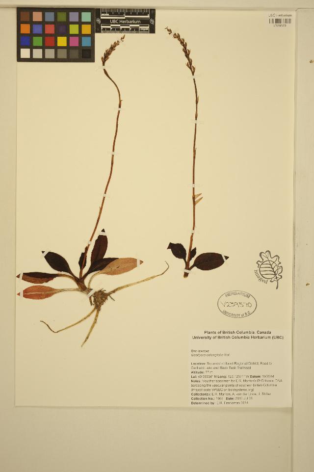 Image of Western rattlesnake plantain