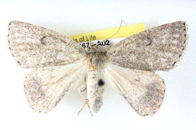 Image of <i>Crypsiphona amaura</i> Meyrick 1888