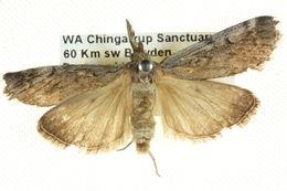 Image of <i>Austropaschia porrigens</i> Hampson 1916