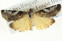 Image of <i>Astrapometis saburalis</i> Walker 1859