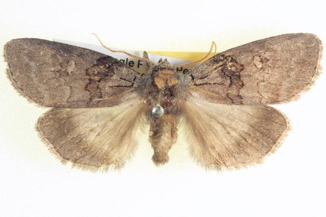 Image of <i>Discophlebia lipauges</i> Turner 1917