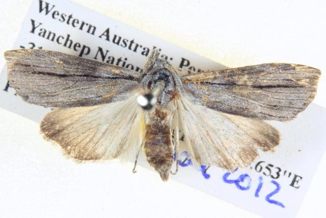 Image of <i>Calathusa thermosticha</i> Lower 1915