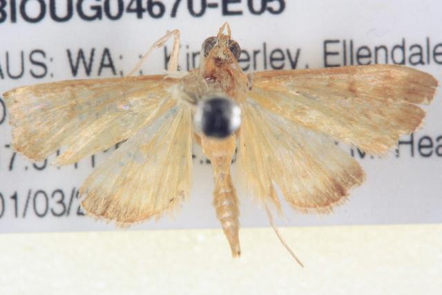 Image of <i>Paliga mandronalis</i>