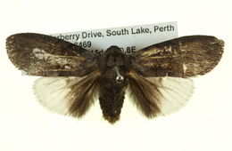 Image of <i>Discophlebia</i>
