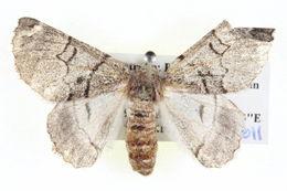 Image of <i>Hypobapta xenomorpha</i> Lower 1915