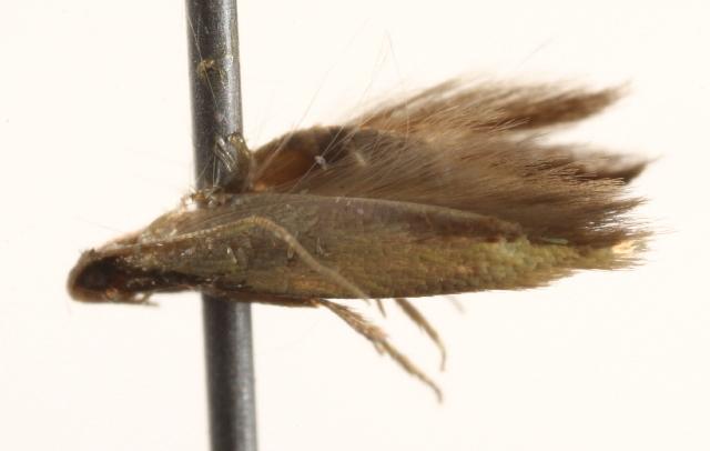 Image of <i>Opogona</i>