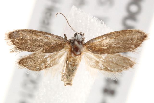 Image of <i>Homadaula lasiochroa</i> Lower 1899