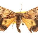 Image of <i>Heliomystis electrica</i> Meyrick 1888