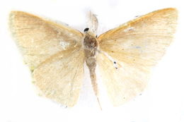 Image of Cymatoplex