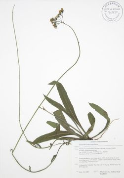 Image of meadow hawkweed