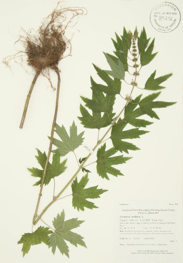 Image of common motherwort