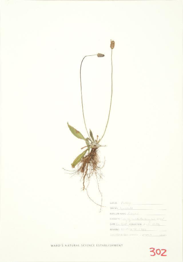 Image of English plantain
