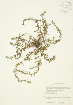 Image of neckweed
