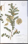 Image of bladder senna
