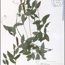 Image of Marsh pea