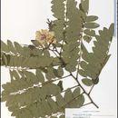 Image of clammy locust