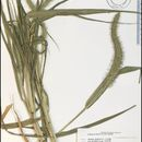 Image of Japanese bristlegrass