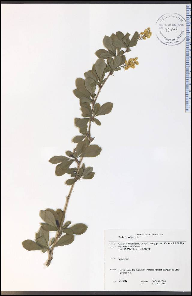 Image of European barberry