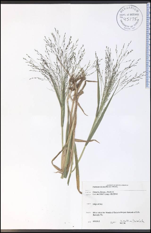 Image of fall panicgrass
