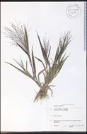 Image of witchgrass