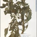 Image of redroot amaranth