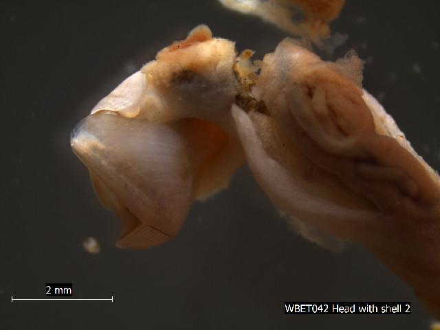 539.wbem wbet042 head with shell 1307564336 jpg