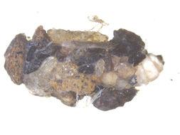 Image of <i>Neophylax mitchelli</i> Carpenter 1933