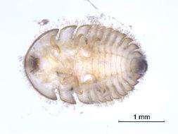 Image of <i>Ectopria thoracica</i>