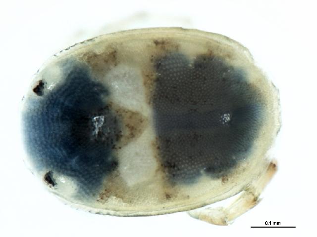 Image of Axonopsinae