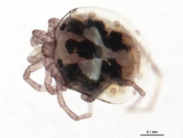 Image of Hygrobatinae
