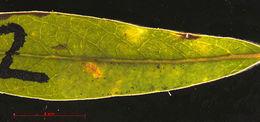 Image of <i>Phyllonorycter</i>