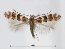 Image of <i>Phyllonorycter pumilae</i> (Ermolaev 1981)