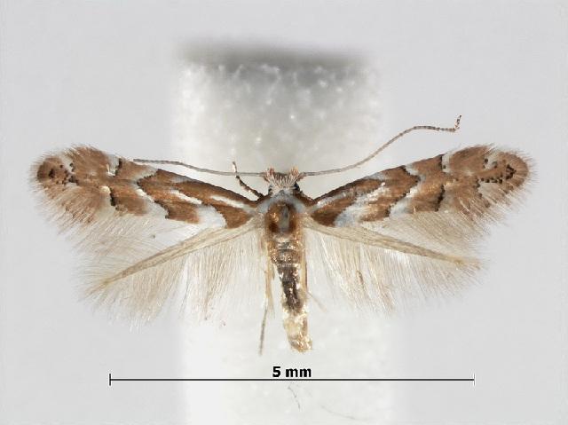Image of <i>Phyllonorycter argentinotella</i> (Clemens 1859)