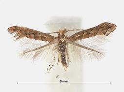 Image of Phyllonorycter Pterocarya Vietnam