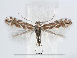 Image of <i>Phyllonorycter macedonica</i> (Deschka 1971)