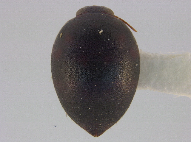 Image of Noterinae