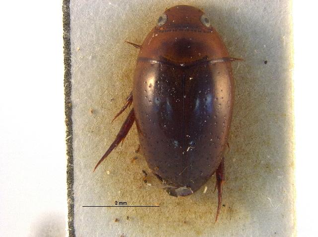 Image of Notomicrinae